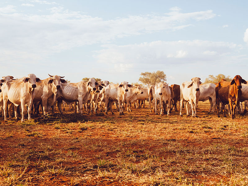 Australian cattle on a farm